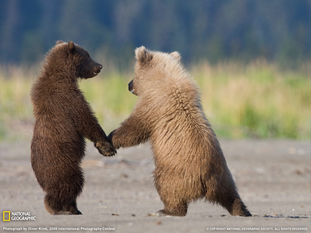 grizzly-bear-cubs-072509-lw