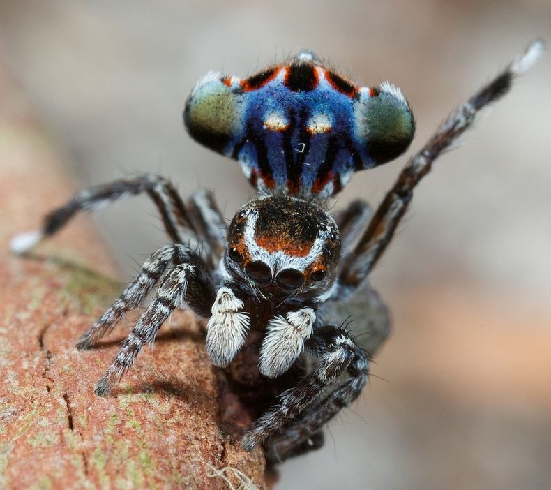 peacock-spider-0[6]