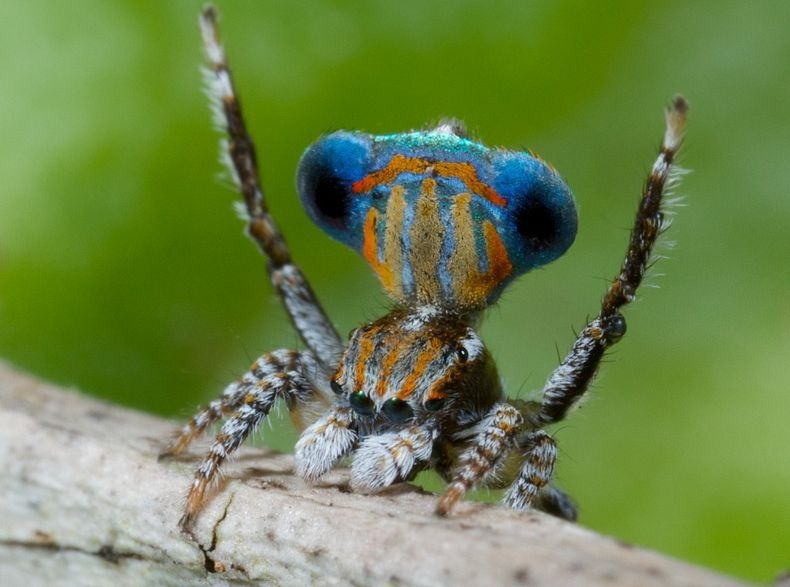 peacock-spider-10[10]