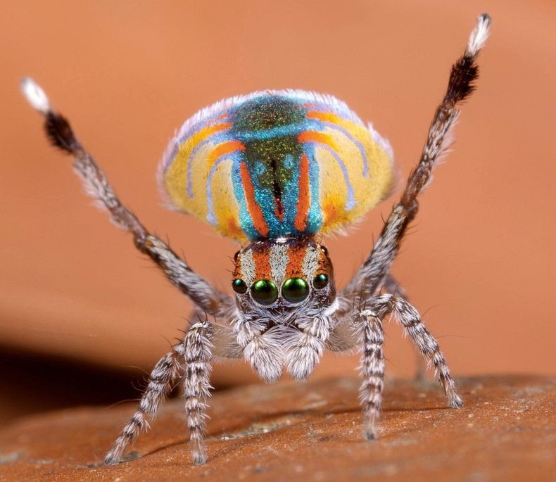 peacock-spider-11[5]