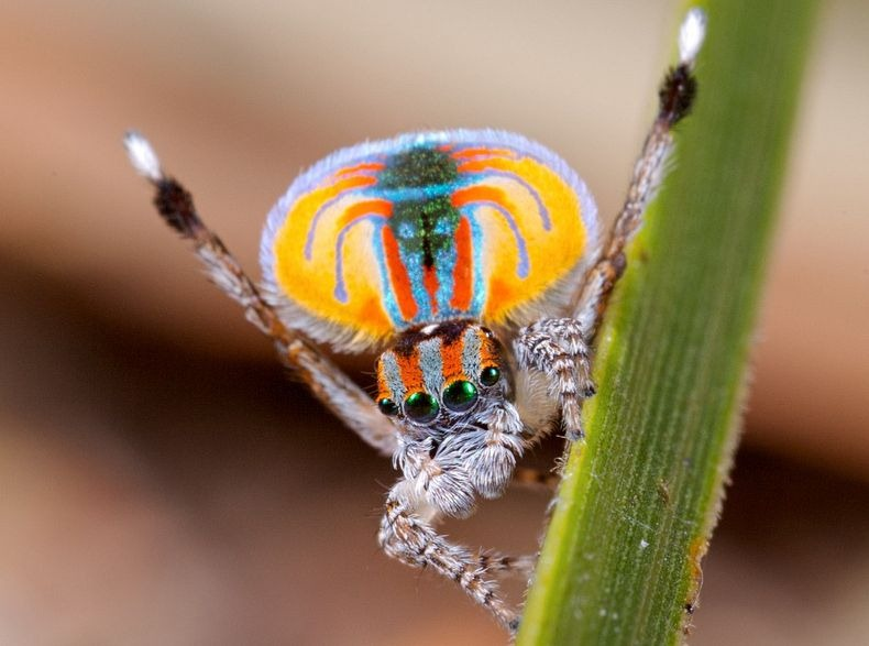 peacock-spider-13[6]