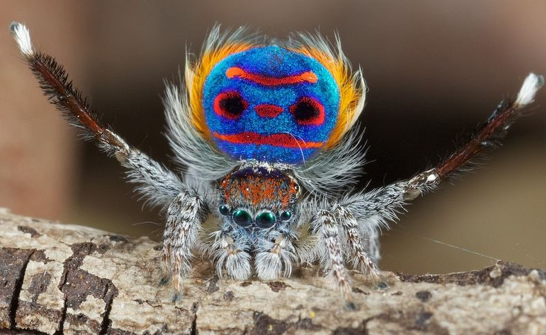 peacock-spider-1[6]