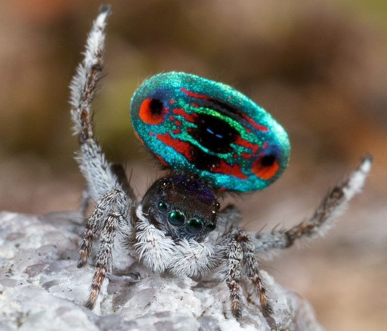 peacock-spider-5[6]