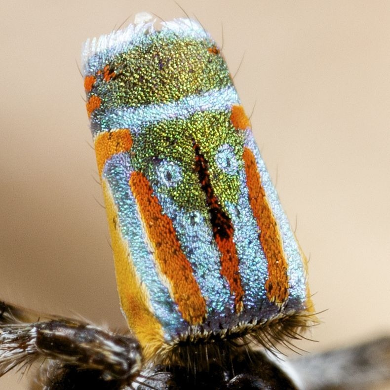 peacock-spider-7[2]