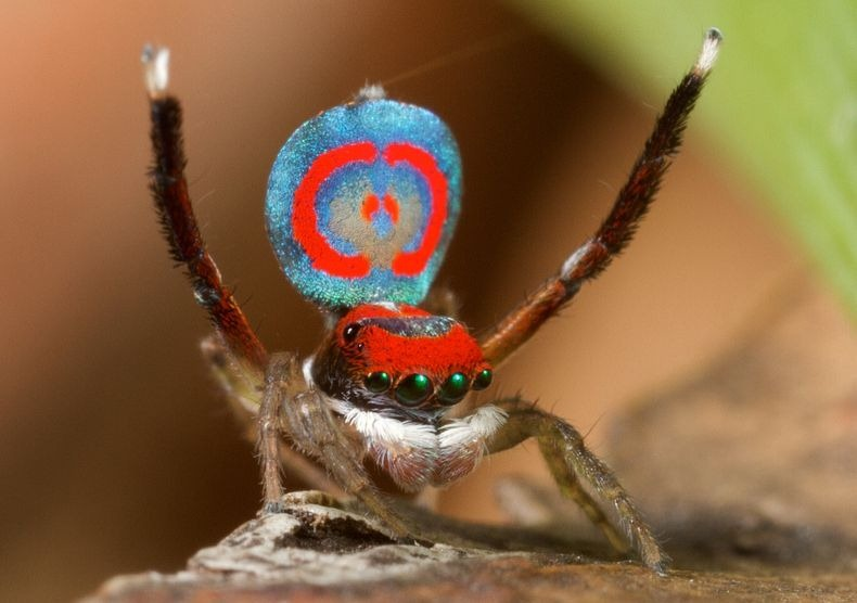 peacock-spider-8[6]